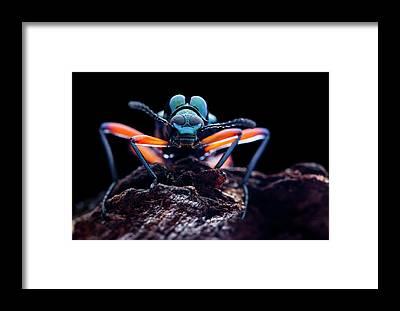 Tenebrionidae Framed Prints