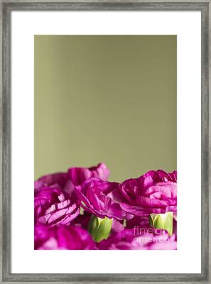 Darling Dianthus Framed Print by Anne Gilbert