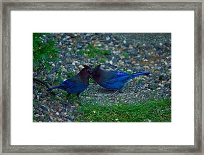 Darling I Have To Tell You A Secret-sweet Stellar Jay Couple Framed Print