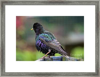 Darling Starling Framed Print