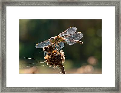 Darter Dragonfly (sympetrum Sp.) Framed Print
