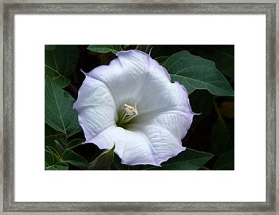 Framed Print featuring the photograph Datura by Cindy McDaniel