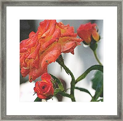 David Austin Old World Pink Roses Touched By A Shower Of Rain Framed Print by Rosemarie E Seppala