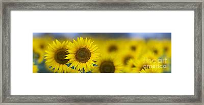 Dawn Sunflower Panoramic Framed Print by Tim Gainey
