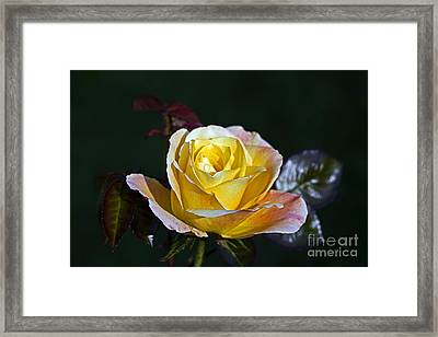 Framed Print featuring the photograph Day Breaker Rose by Kate Brown