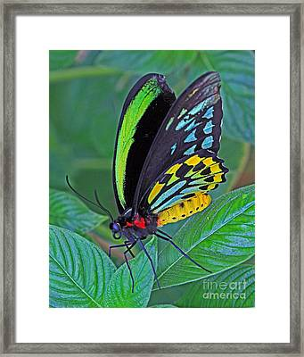 Day-glo Butterfly Framed Print