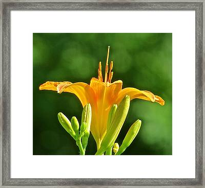 Tigerlily 116 Framed Print by Patsy Pratt