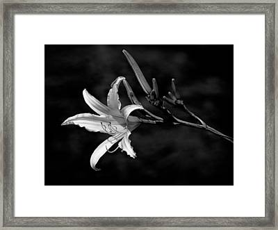 Day Lily In Grey Framed Print
