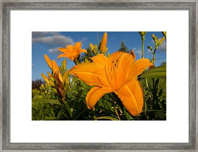 Day Lily Time Framed Print