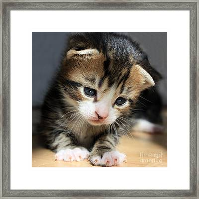 Daydreamer Kitten Framed Print