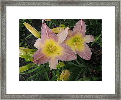 Daylilies Framed Print by Chrissey Dittus