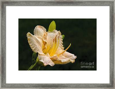 Daylily After A Morning Rain Framed Print by Madonna Martin