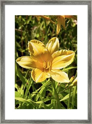 Daylily (hemerocallis 'cartwheels') Framed Print by Adrian Thomas