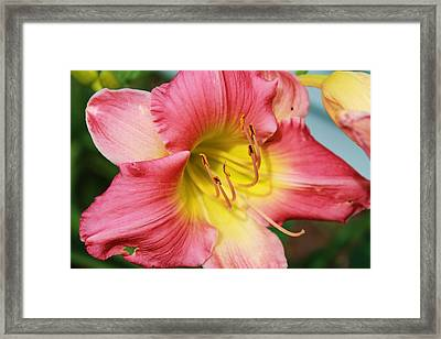 Daylily Framed Print by Victoria Sheldon