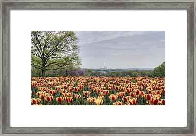 Dc Tulips  Framed Print