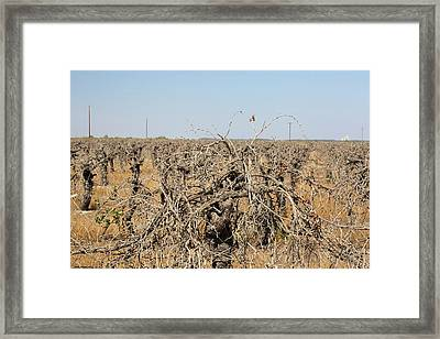 Dead And Dying Grape Vines Framed Print by Ashley Cooper