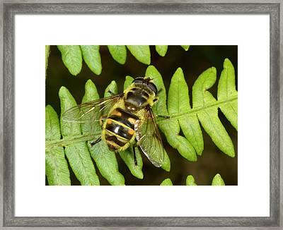 Dead Head Fly Myathropa Florae Framed Print