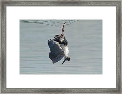 Dead Heron Caught In Net Framed Print by Photostock-israel