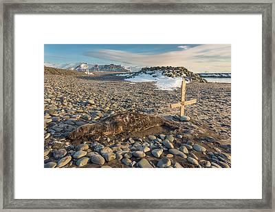 Dead Seal On Breidamerkursandur Framed Print