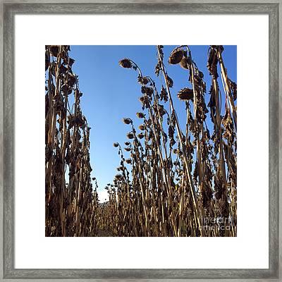 Death Sunflowers Framed Print by Bernard Jaubert