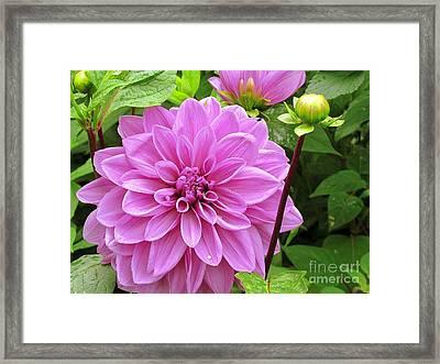 Decadent Dahlia   Framed Print by Elizabeth Dow