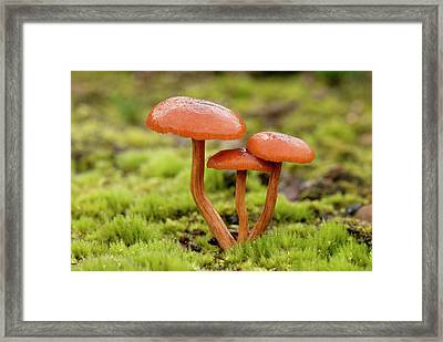 Deceiver Fungi (laccaria Laccata) Framed Print by Nigel Downer