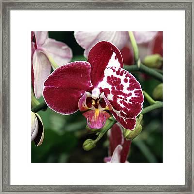 December Orchid Framed Print by William Dey