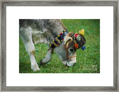 Decorated Brown Swiss Cow  Eating Grass  Framed Print