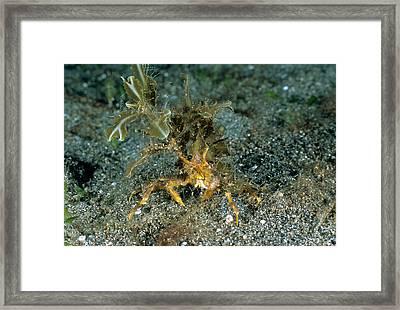 Decorator Crab, St. Vincent, Caribbean Framed Print by Andrew J. Martinez