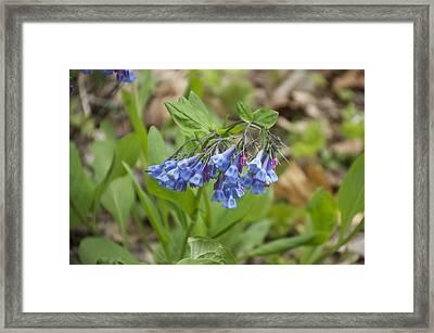 Deep Blue Wild Flowers At Mt Cuba Framed Print by Mark Holden