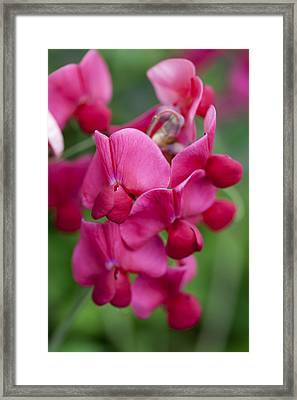 Deep Pink Sweet Pea Framed Print