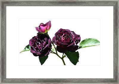 Deep Purple Rose Framed Print by Geoffrey McLean