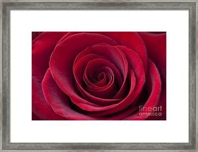 Deep Red Rose Framed Print