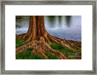 Deep Roots - Tree On North Carolina Lake Framed Print by Dan Carmichael