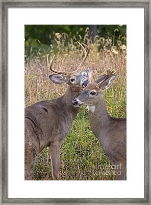 Deer 49 Framed Print