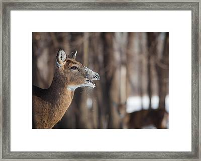 Deer Eating Snow Framed Print by Chris Hurst