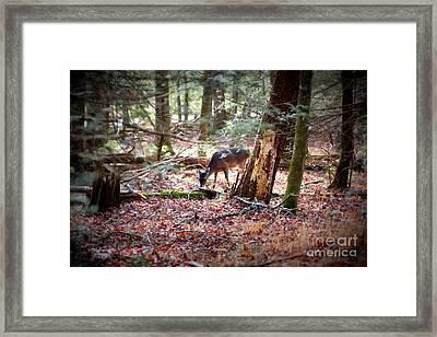Deer Grazing Framed Print