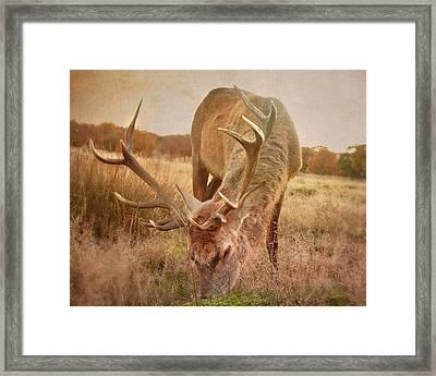 Deer II Framed Print