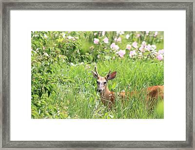 Deer In Magee Marsh Framed Print