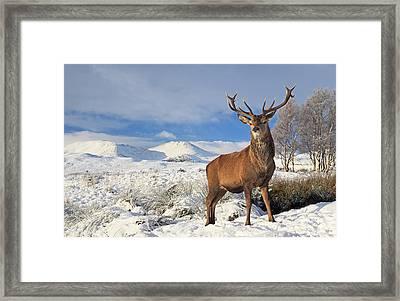 Deer In The Snow Framed Print by Grant Glendinning