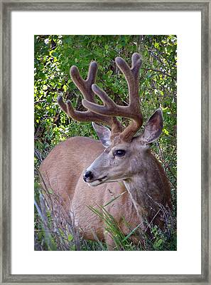 Buck In The Woods Framed Print by Athena Mckinzie