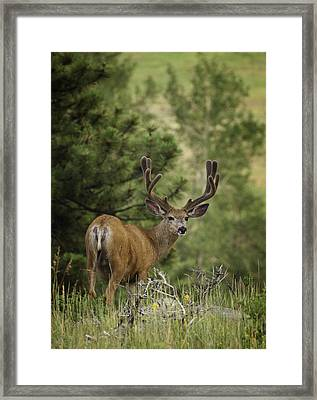 Deer In Velvet Framed Print by Darren  White