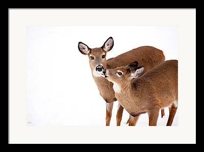 Deer In Snow Framed Prints