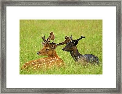 Deer Lying In A Field Framed Print by DerekTXFactor Creative