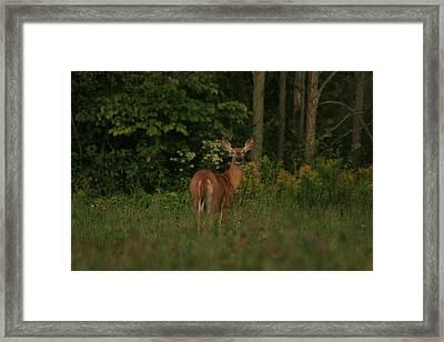 Framed Print featuring the photograph Deer Muskoka by Paula Brown