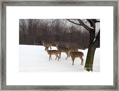 Deer Photography - Michigan Deer Herd Winter Snow Landscape  Framed Print