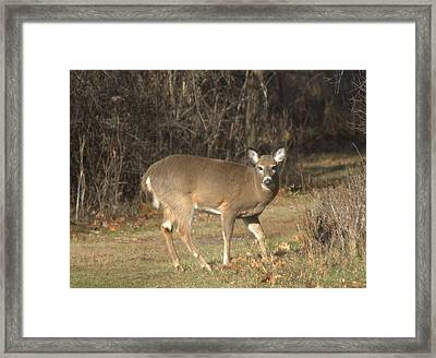 Deer Pose Framed Print by Edward Kocienski