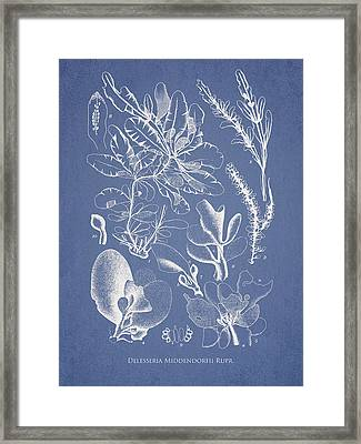 Delesseria Middendorfii Framed Print by Aged Pixel