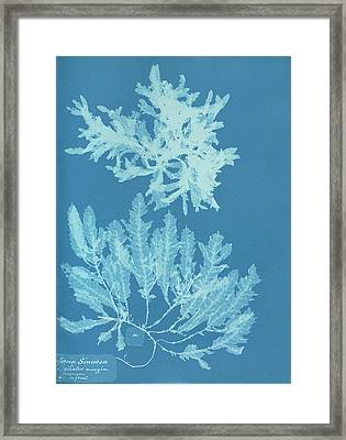 Delesseria Sinuosa In Fruit Framed Print by Natural History Museum, London