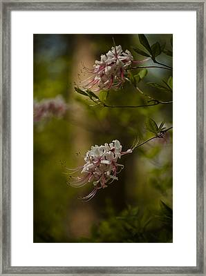 Delicate  Framed Print by Cindy Rubin